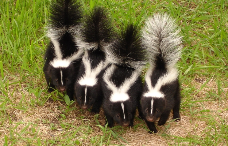 as soon as you are certain that a skunk or skunks have indeed taken a